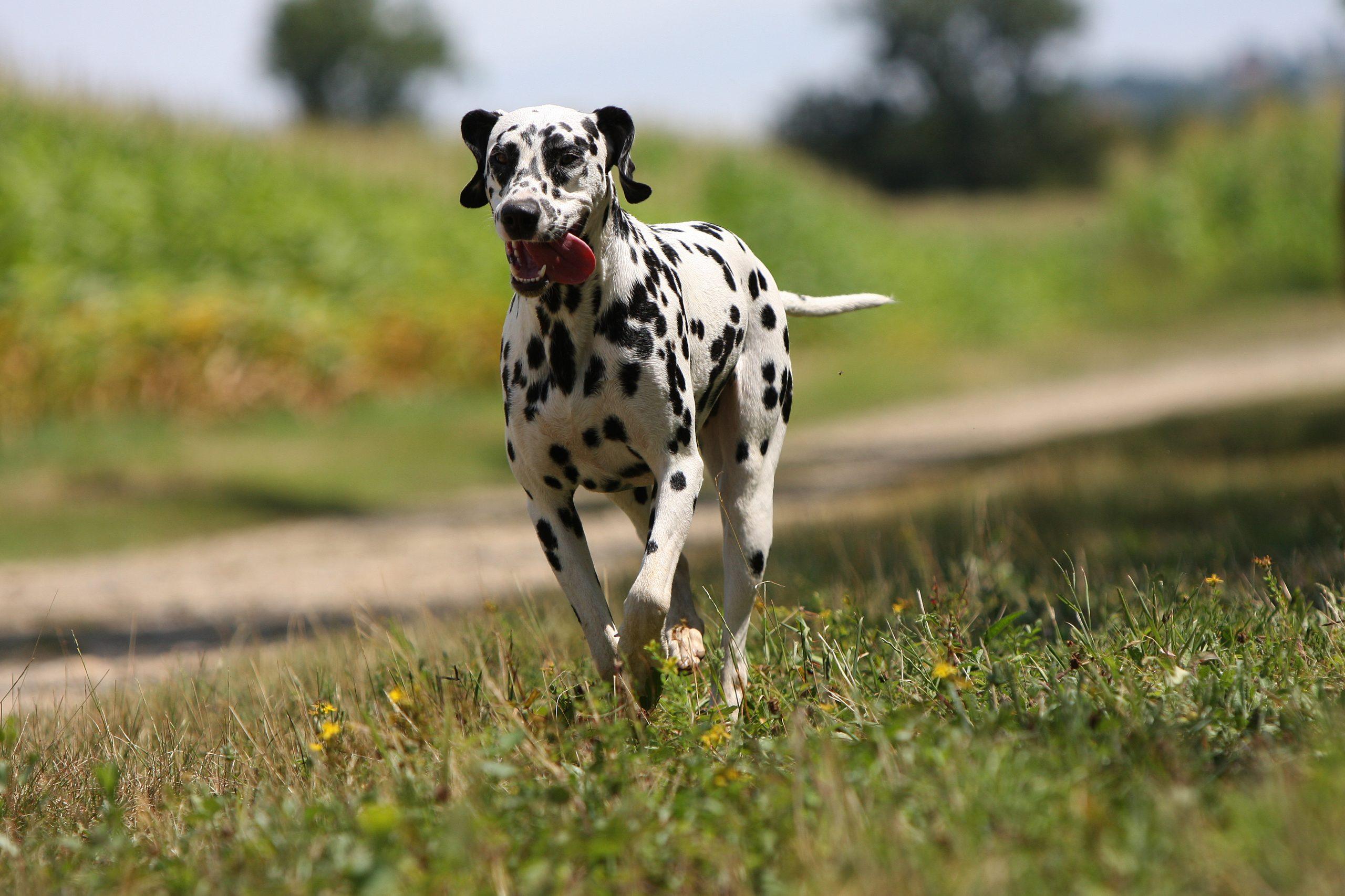 A Dalmatian running through an open field representing how Caledonia pet microchip identification can help keep you pet safe.